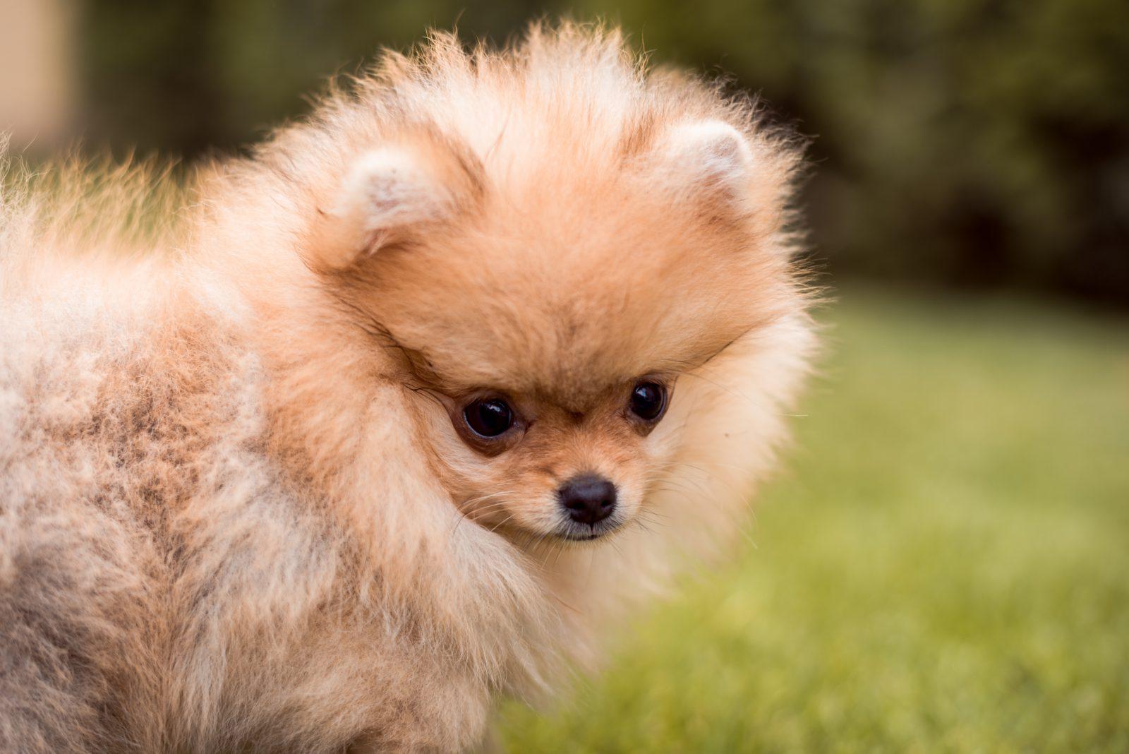 Cachorros mais vendidos: Lulu da Pomerânia brincando no jardim.