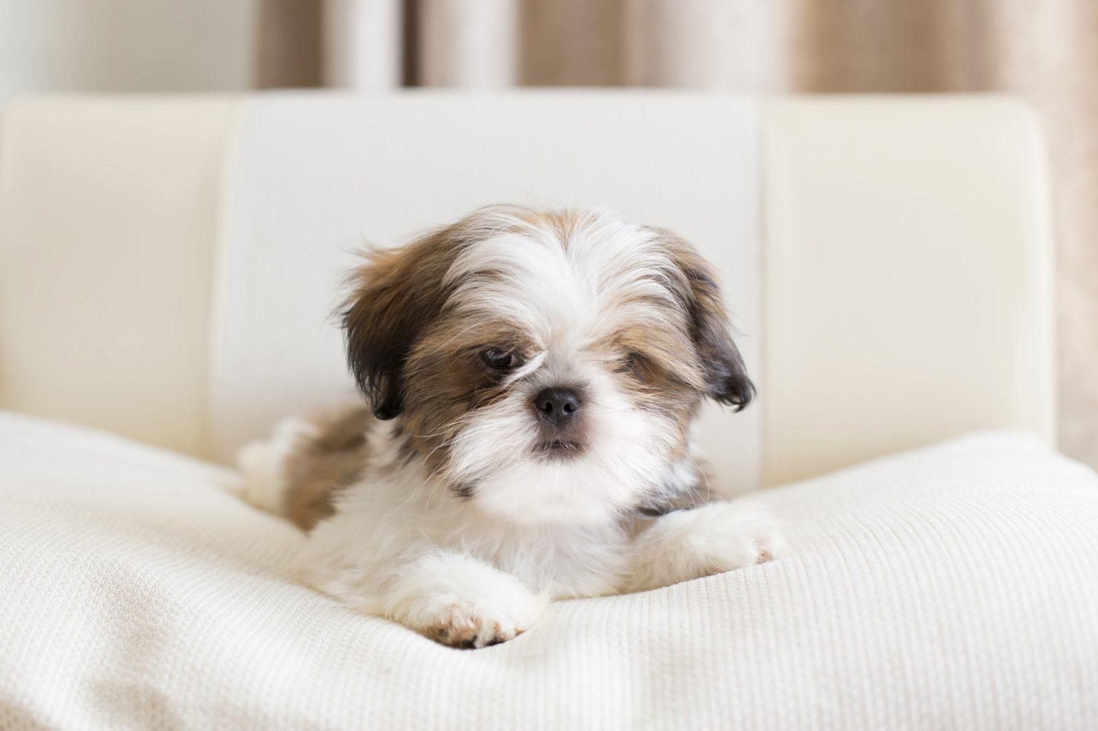 Cachorros mais vendidos: Shih Tzu filhote deitado na cama.