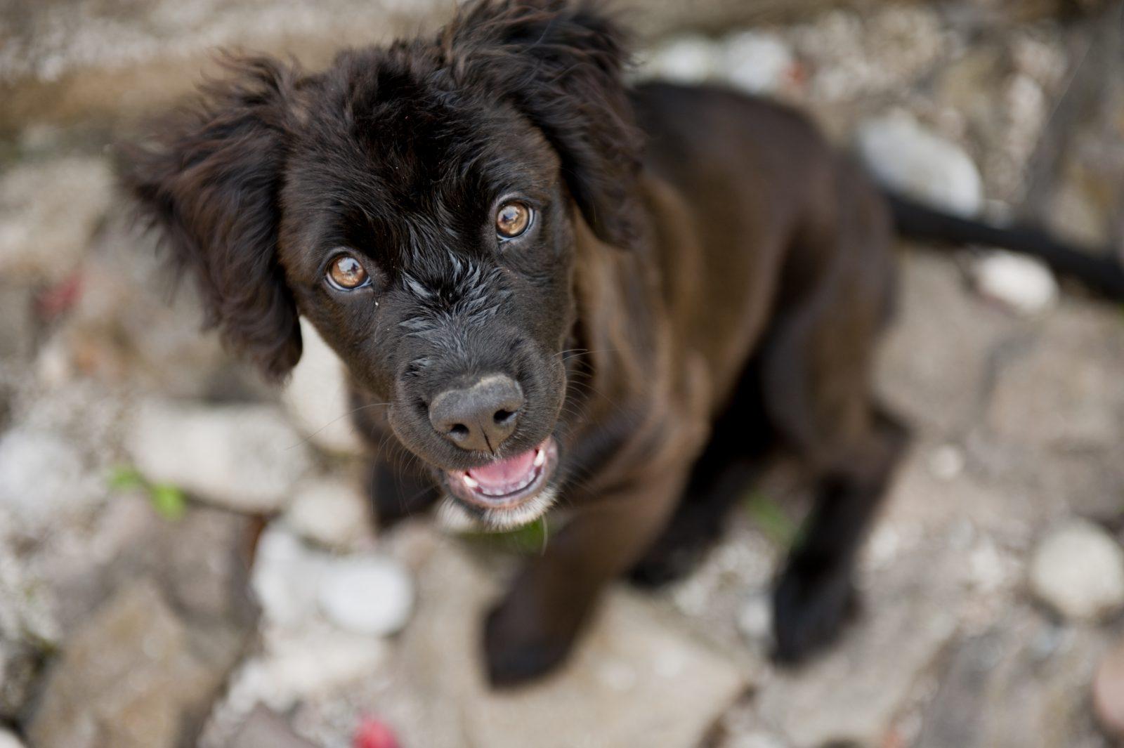 Cachorros mais vendidos: vira-latas (SRD) filhote com olhar cativante.