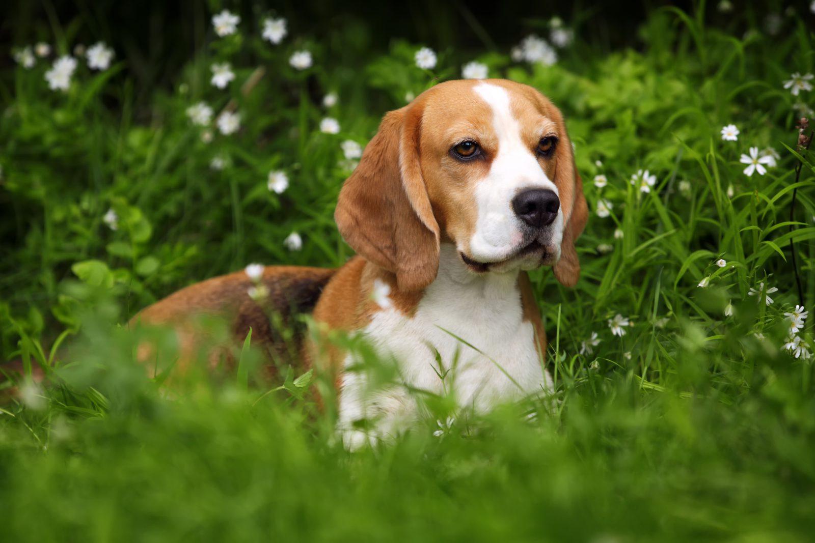 Cachorros de pequeno porte: Beagle adulto deitado na grama do jardim.