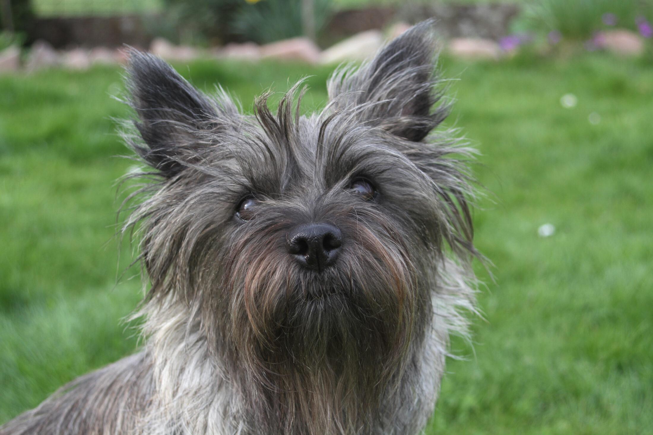 cachorros para idosos Cairn,Terrier