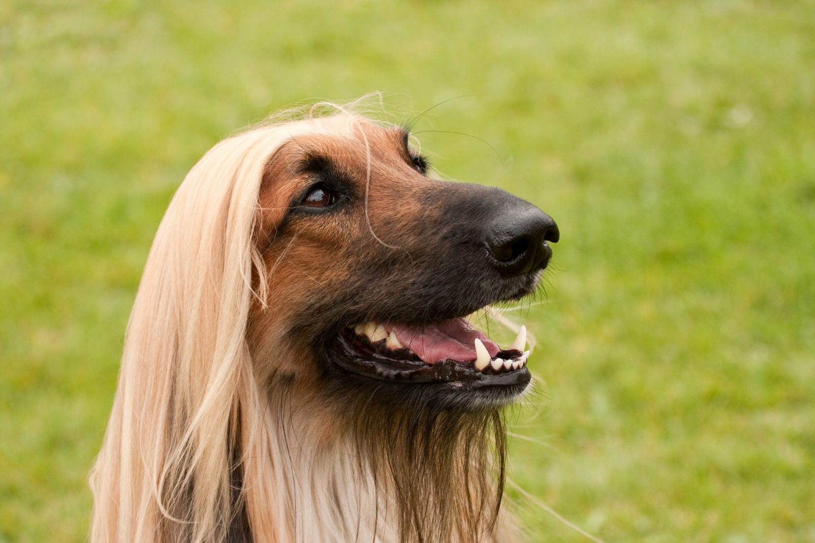 Cachorro de pelo longo: Afghan Hound e seus pelos longos e lisos no gramado do parque.