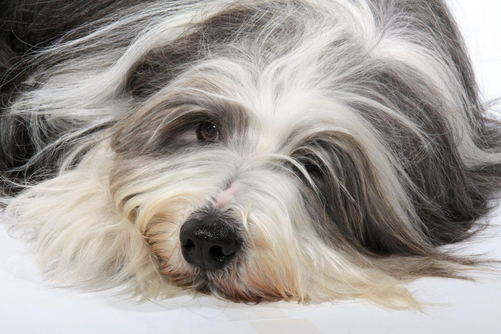Cachorro de pelo longo: Bearded Collie deitado sob o tapete da sala espalhando toda a sua pelagem lisa e exuberante.