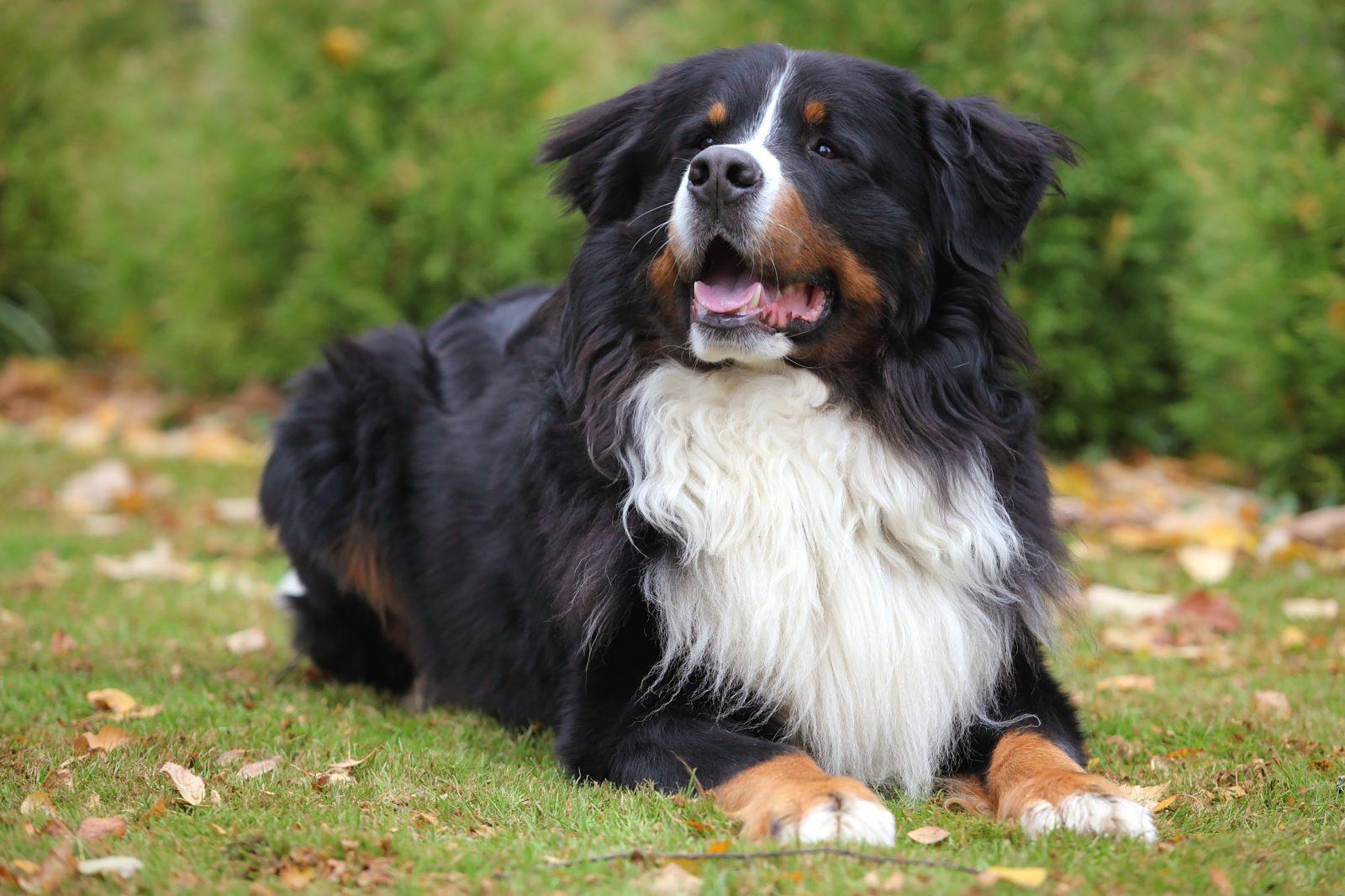 Cachorro de pelo longo: ão Montanhês de Bernese deitado sobre a grama do parque.