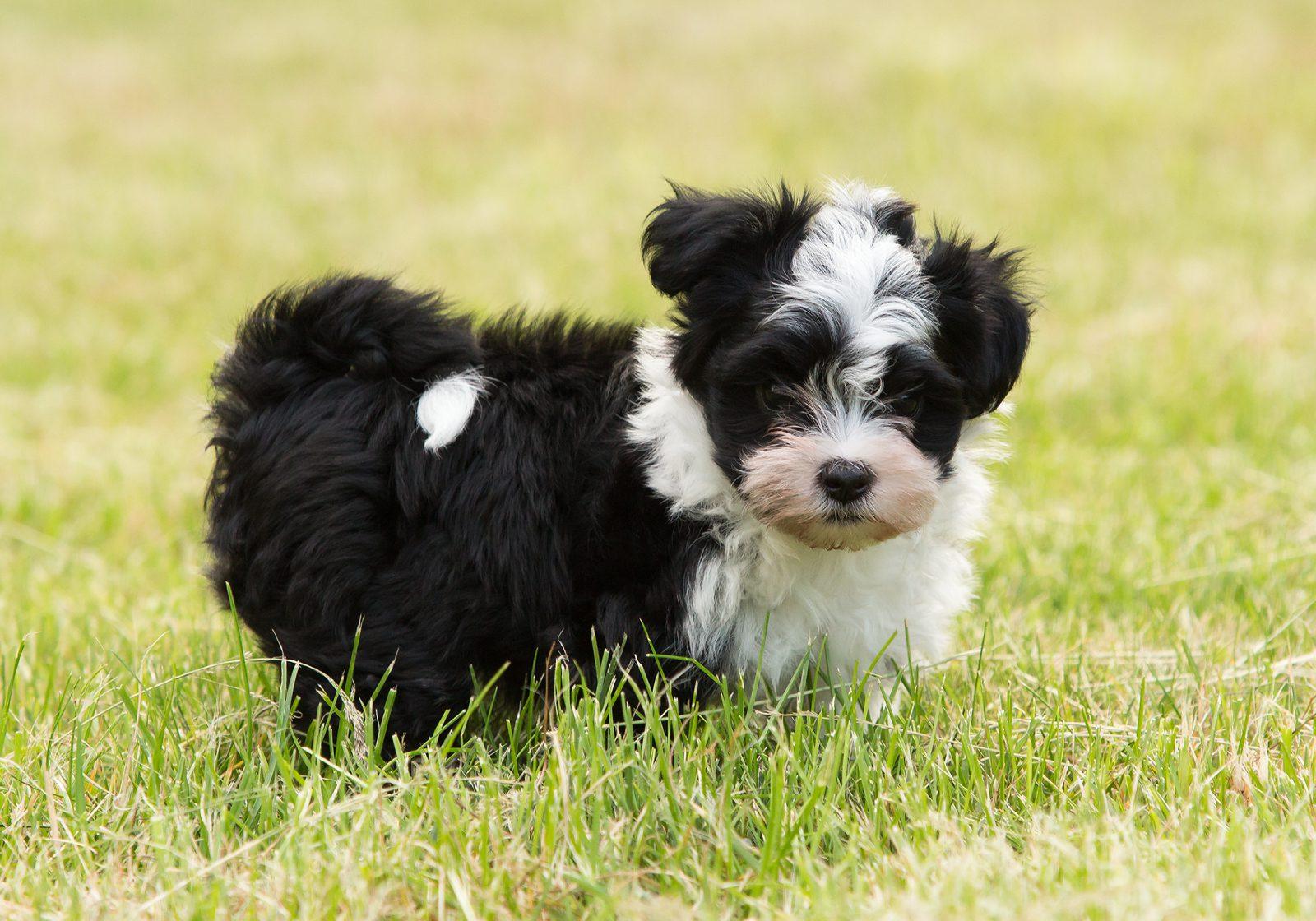 Cachorro de pelo longo: Havanês filhote preto e branco no gramado do parque.