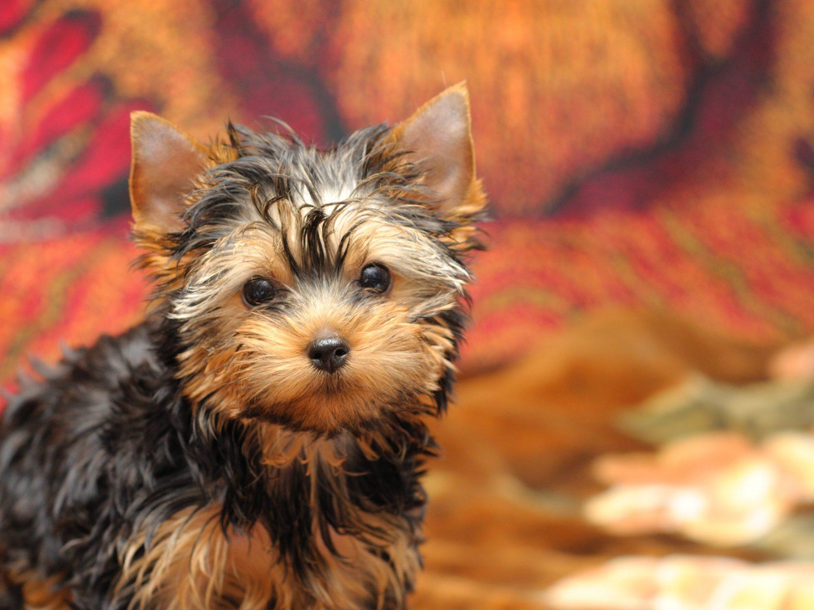 Cachorro de pelo longo: Yorkshire Terrier filhote e todo o seu charme me pleno outono.
