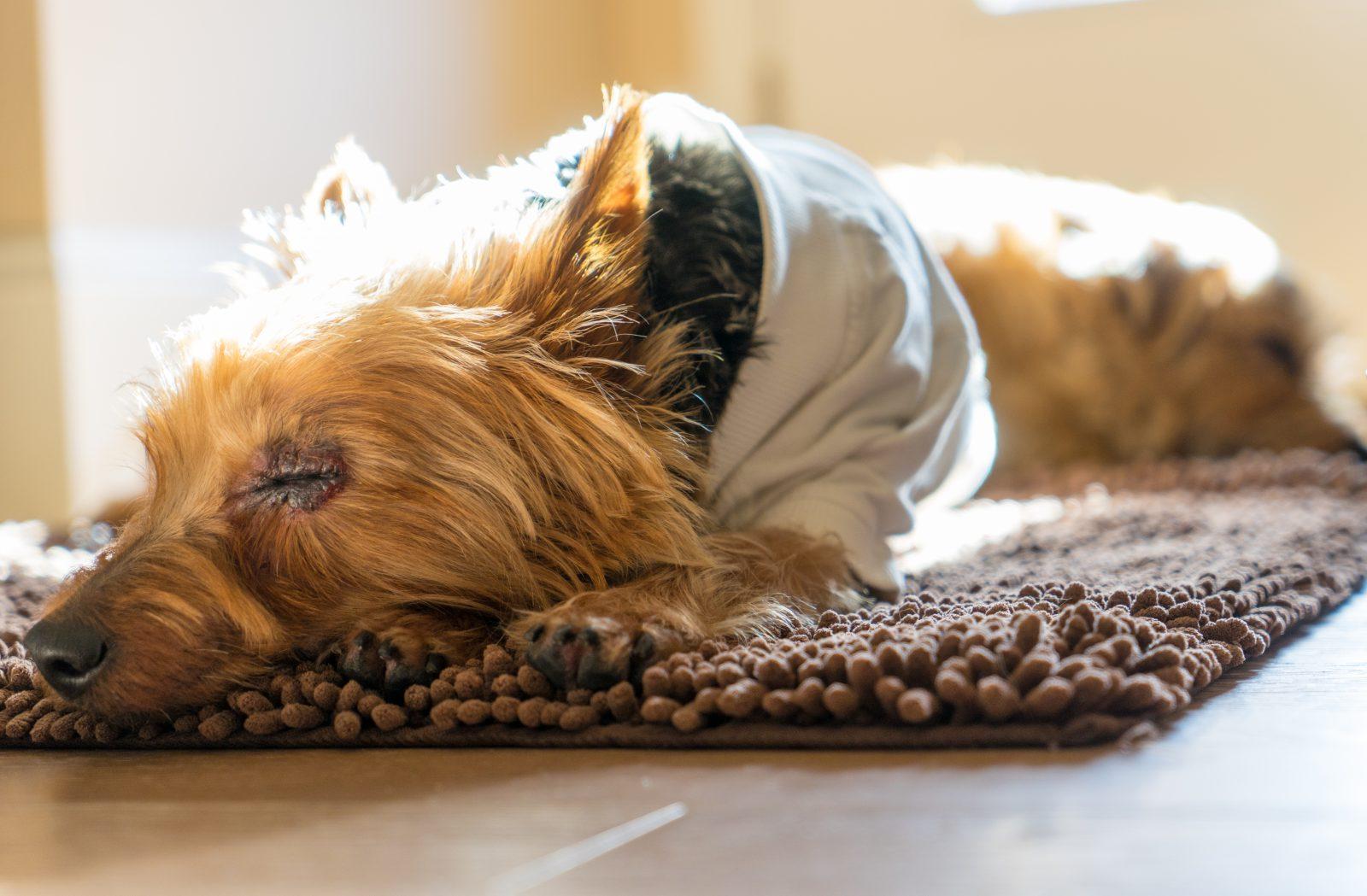 Cachorro pequeno: Norfolk Terrier dormindo no tapete da sala em raro momento de descanso.