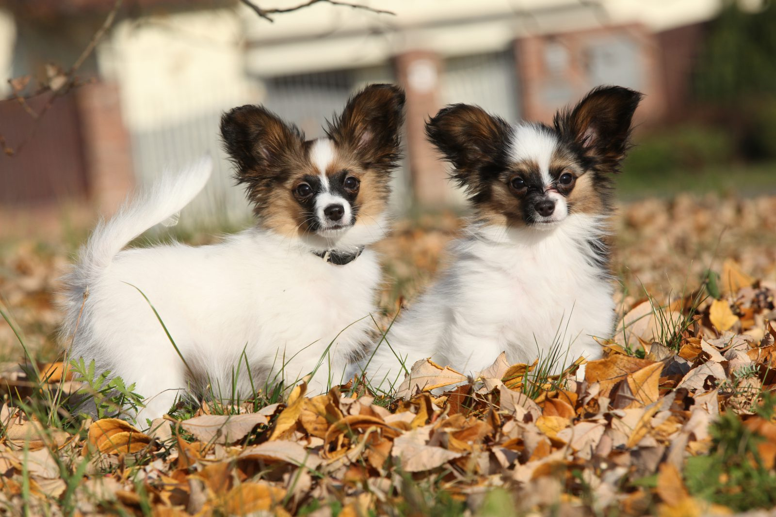 Cachorros pequenos: Dupla de Papillons no jardim em meio à folhas de outono.
