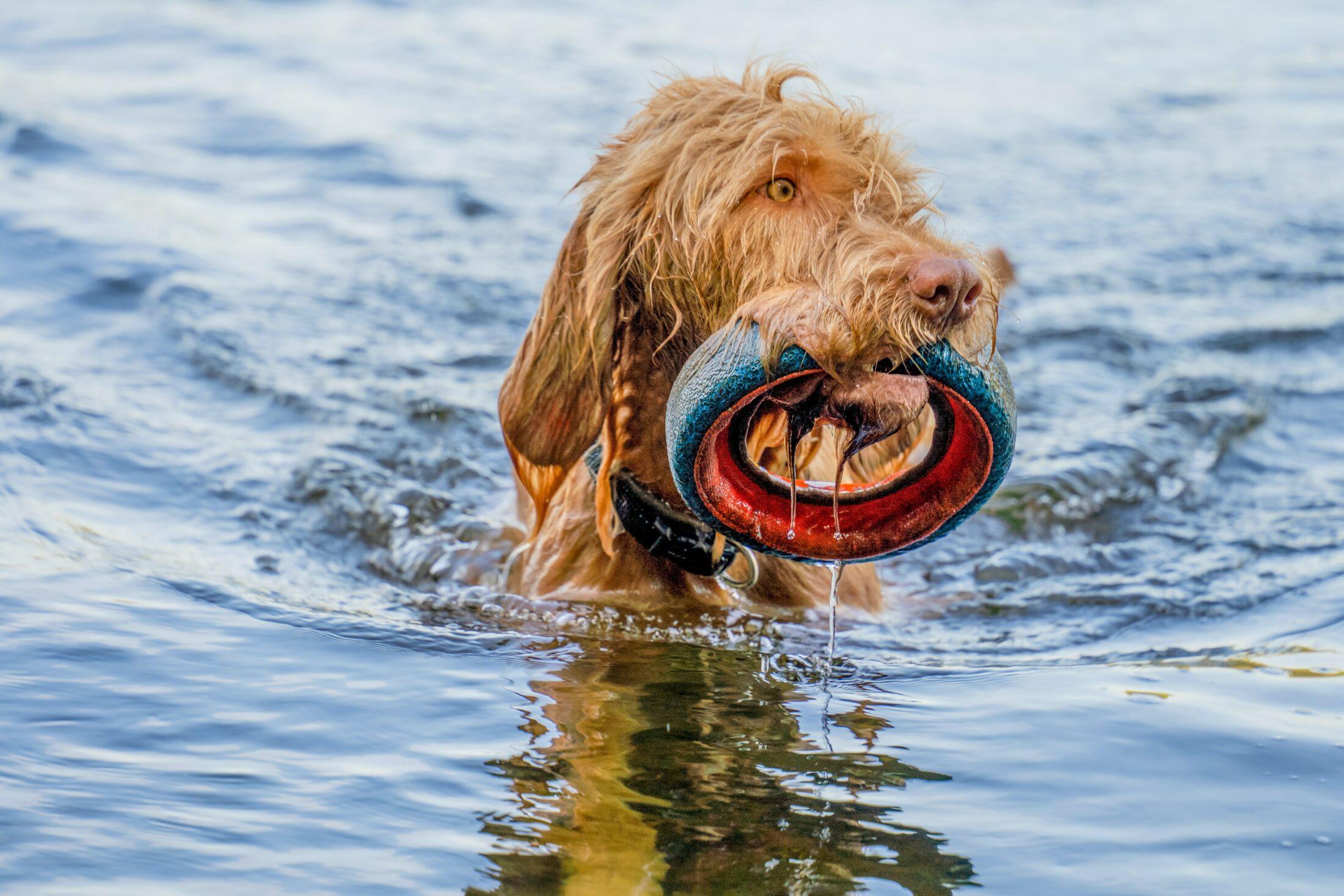 Cachorros podem nadar se forem acostumados aos poucos.