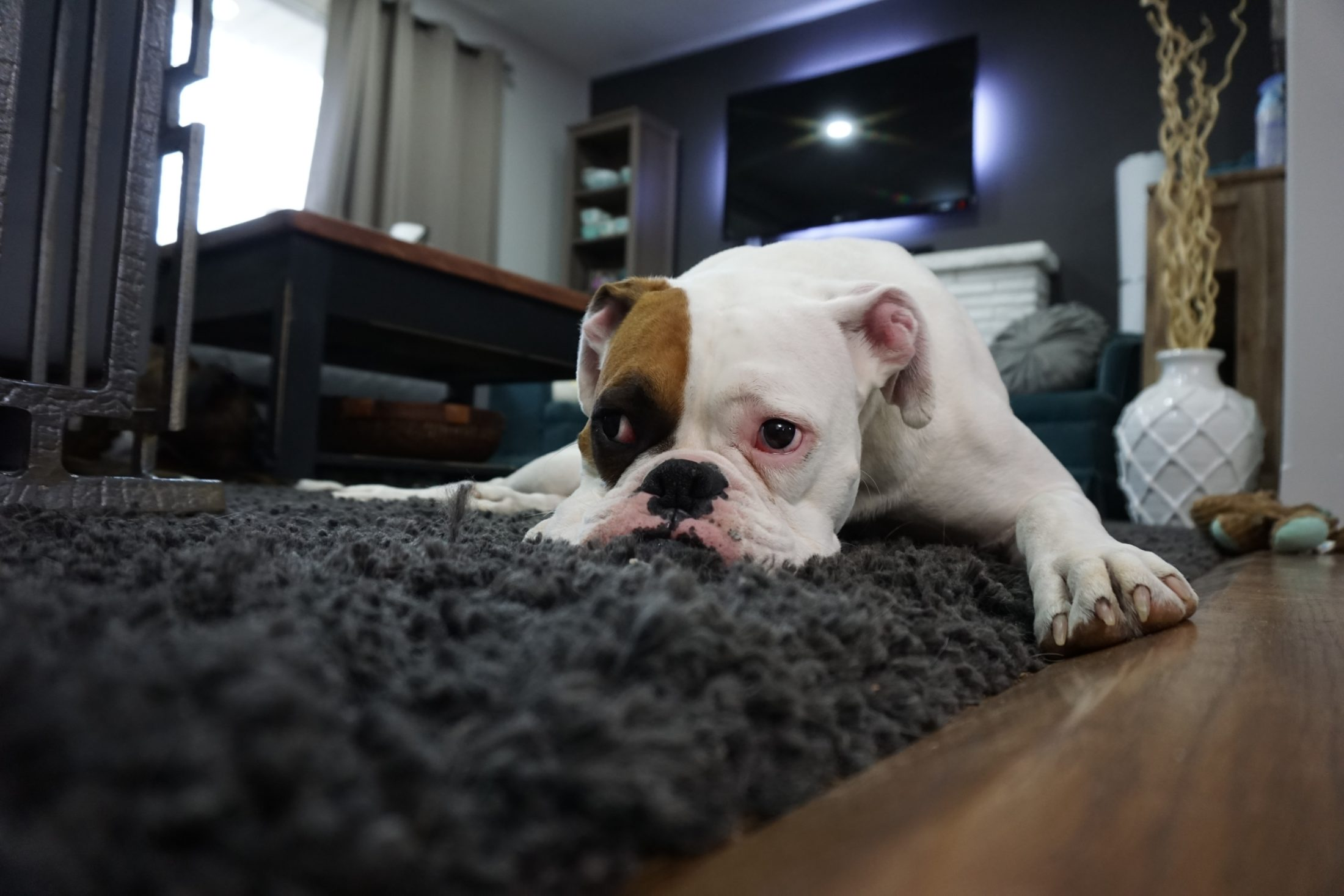 buldogue ingl6es deitado no tapete da sala