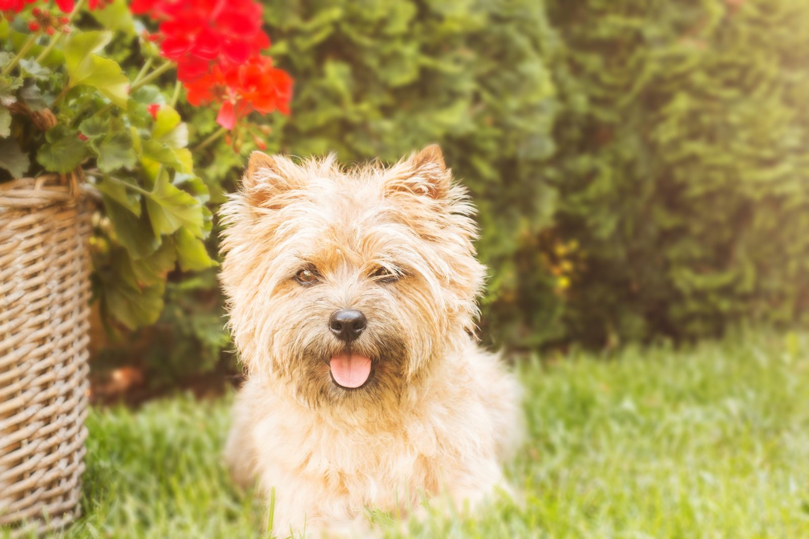 cao-cairn-terrier-aparencia