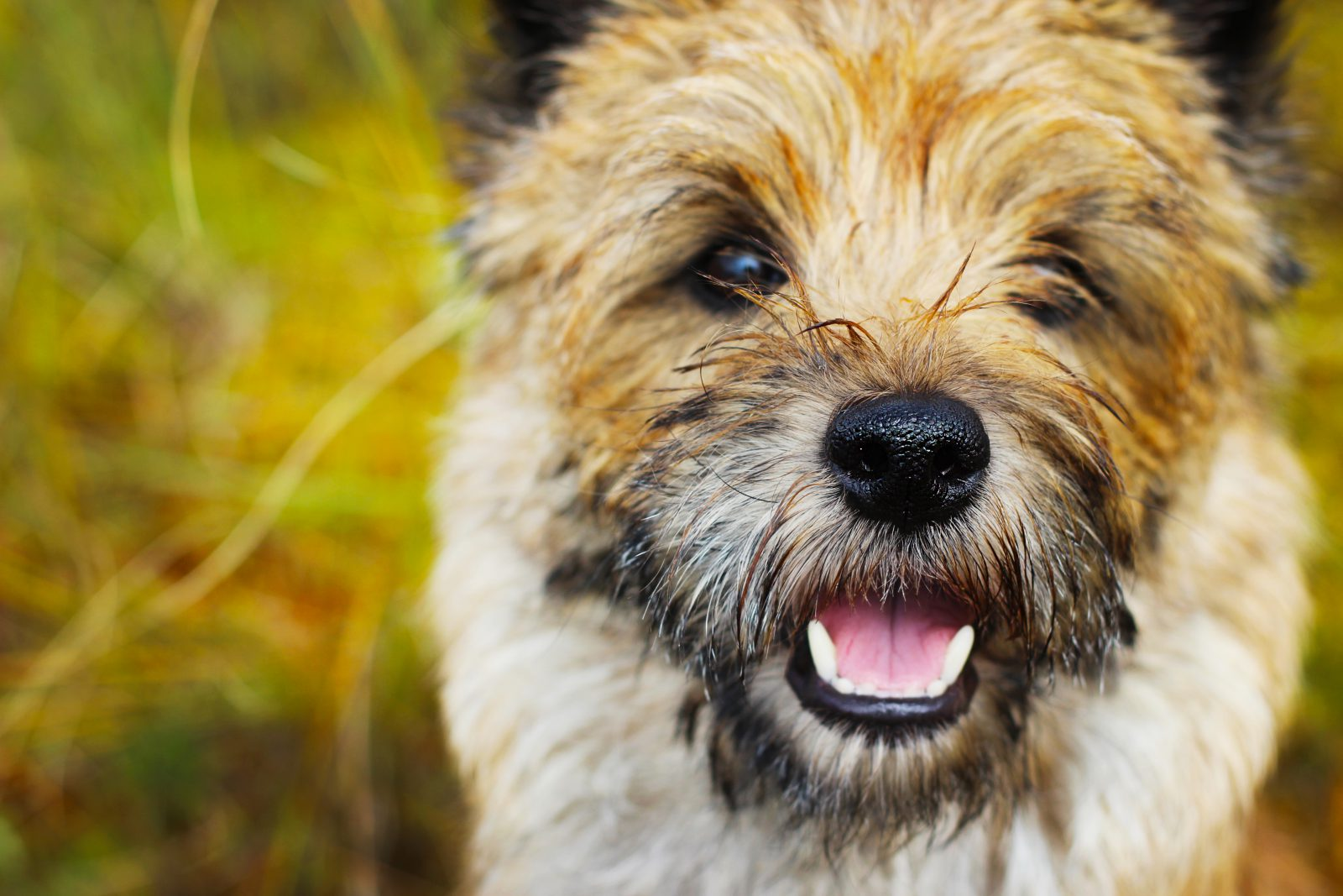 cao-cairn-terrier-intro