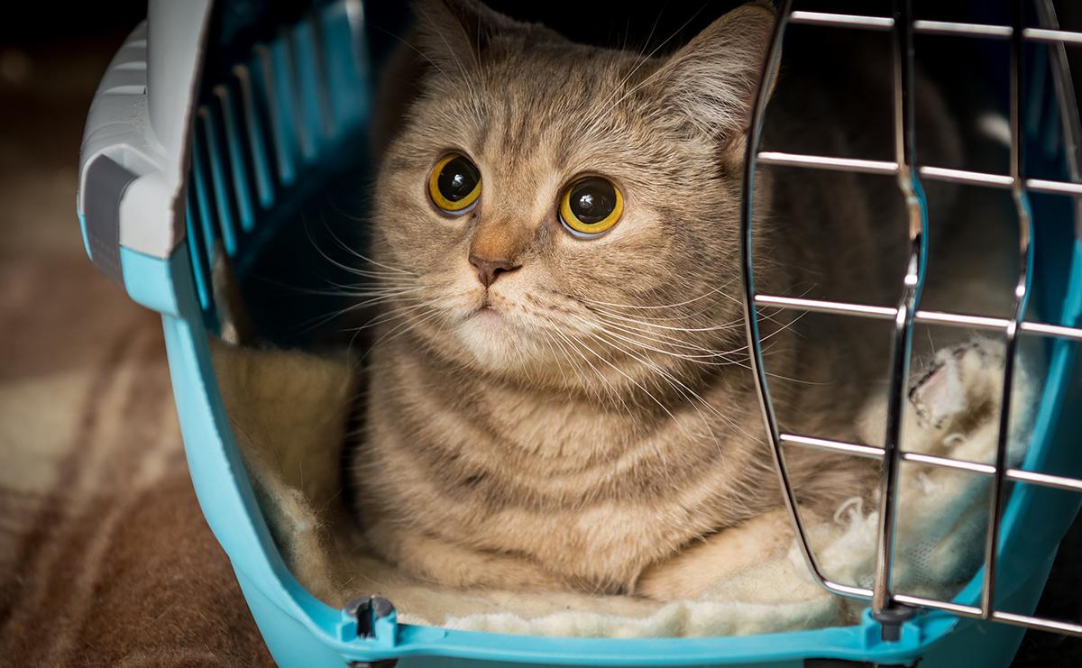 gato dentro da caixa de transporte
