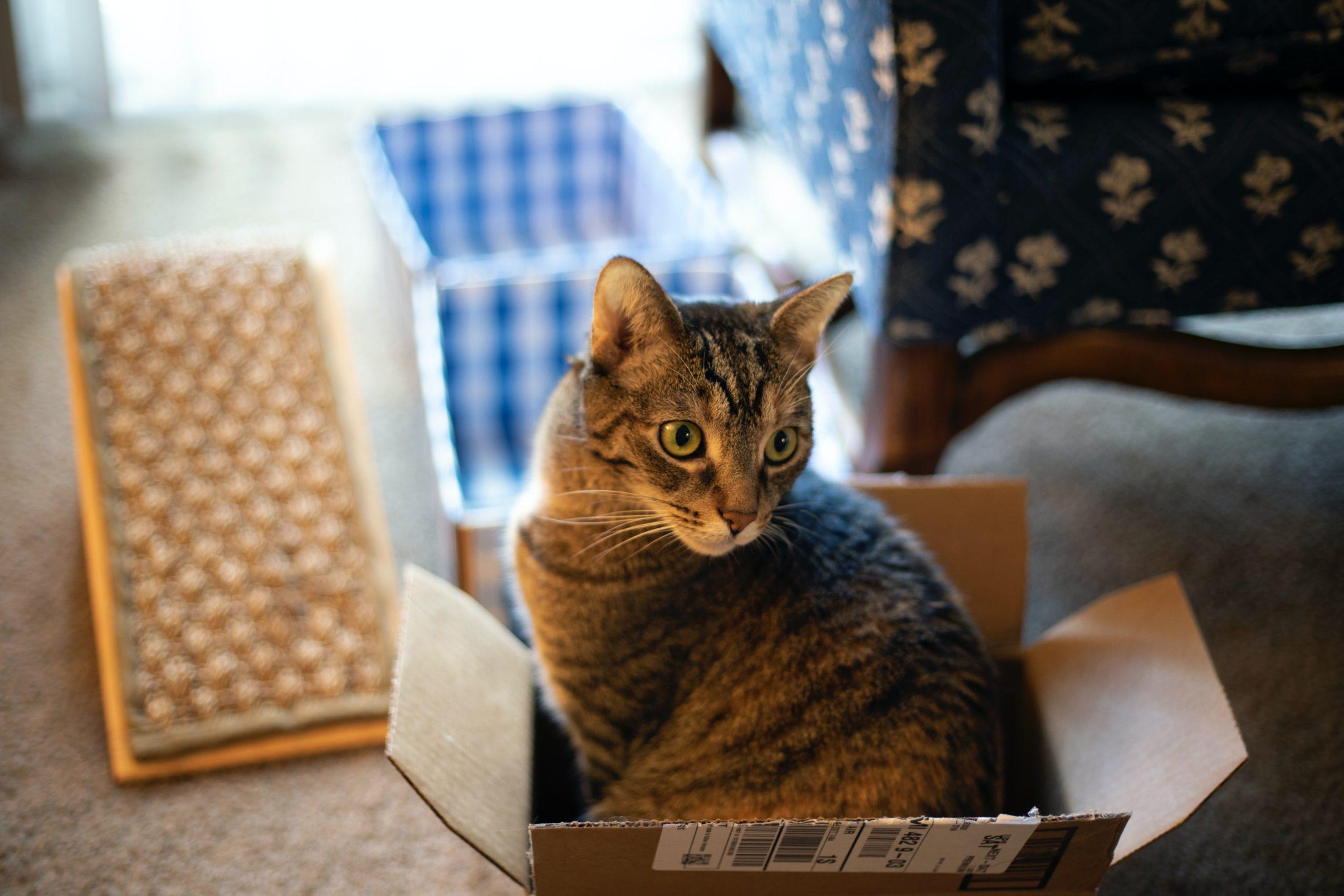 gato dentro de uma caixa de papelão