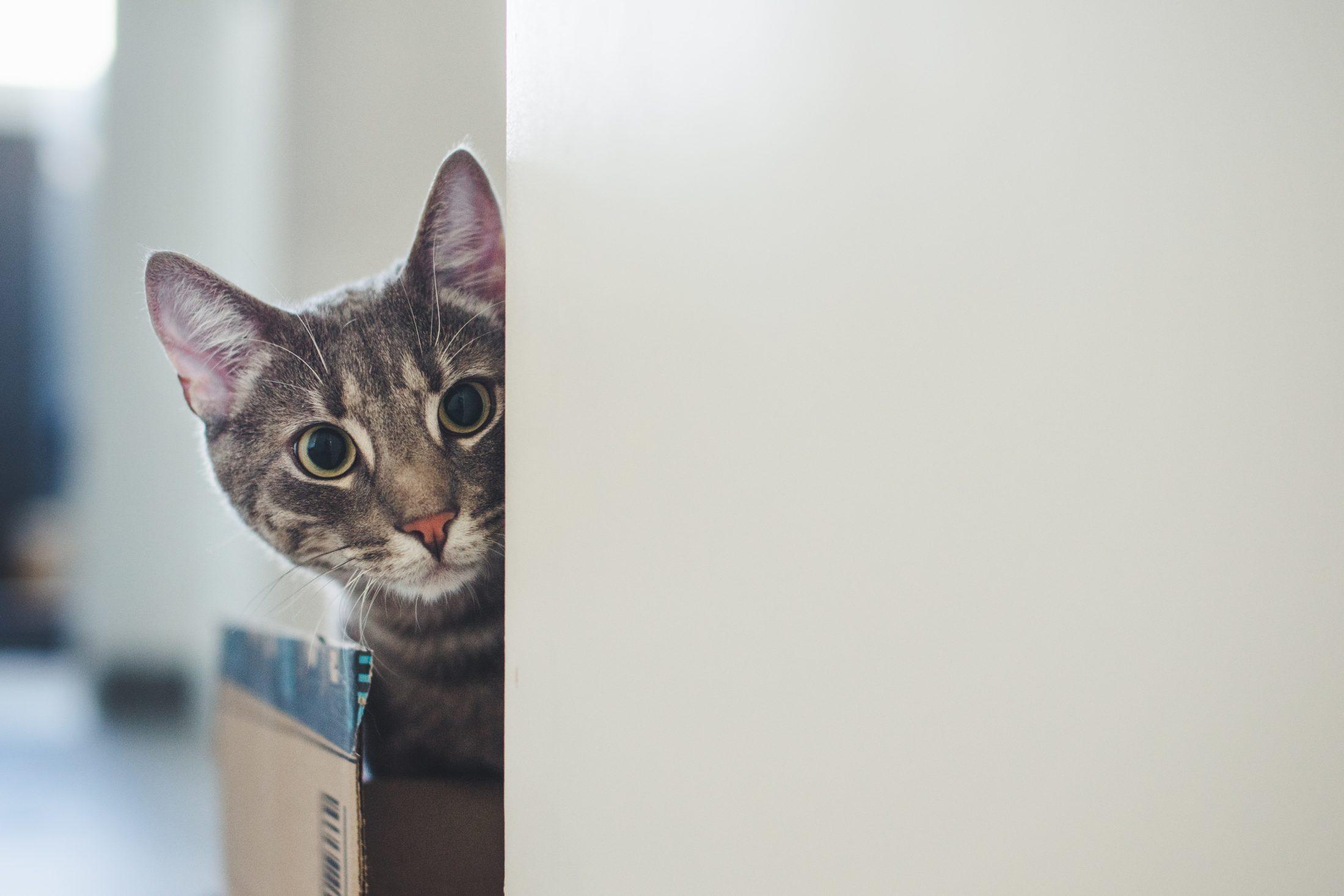 gato dentro de caixa de papelão olhando pela quina da parede