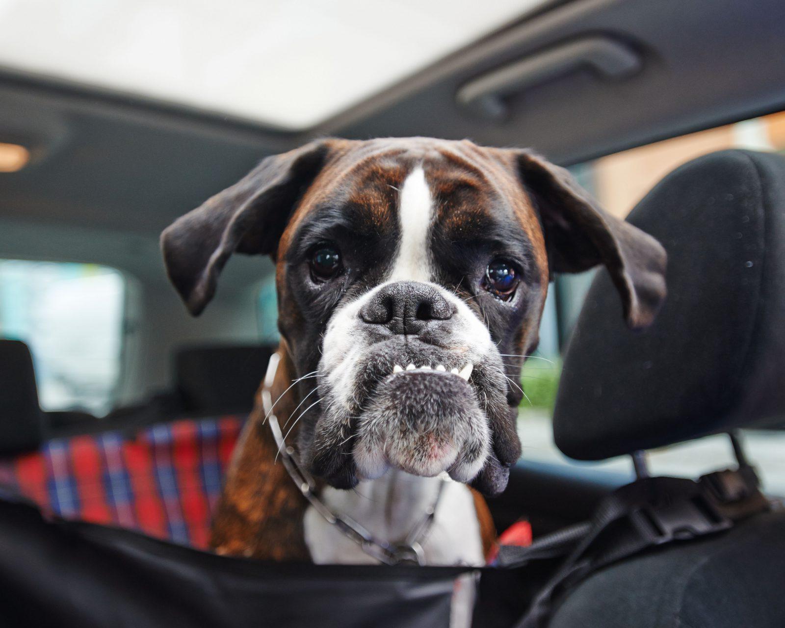 Caixa de transporte para cachorro: boxer em cadeirinha de carro para cachorro