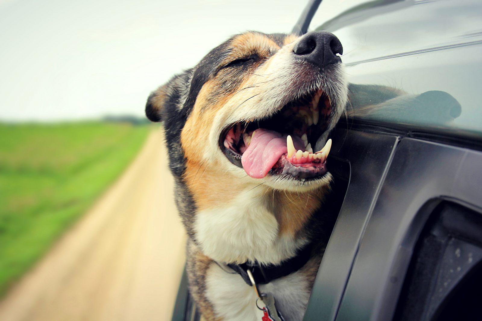 Caixa de transporte para cachorro: cachorro com cabeça pra fora do carro