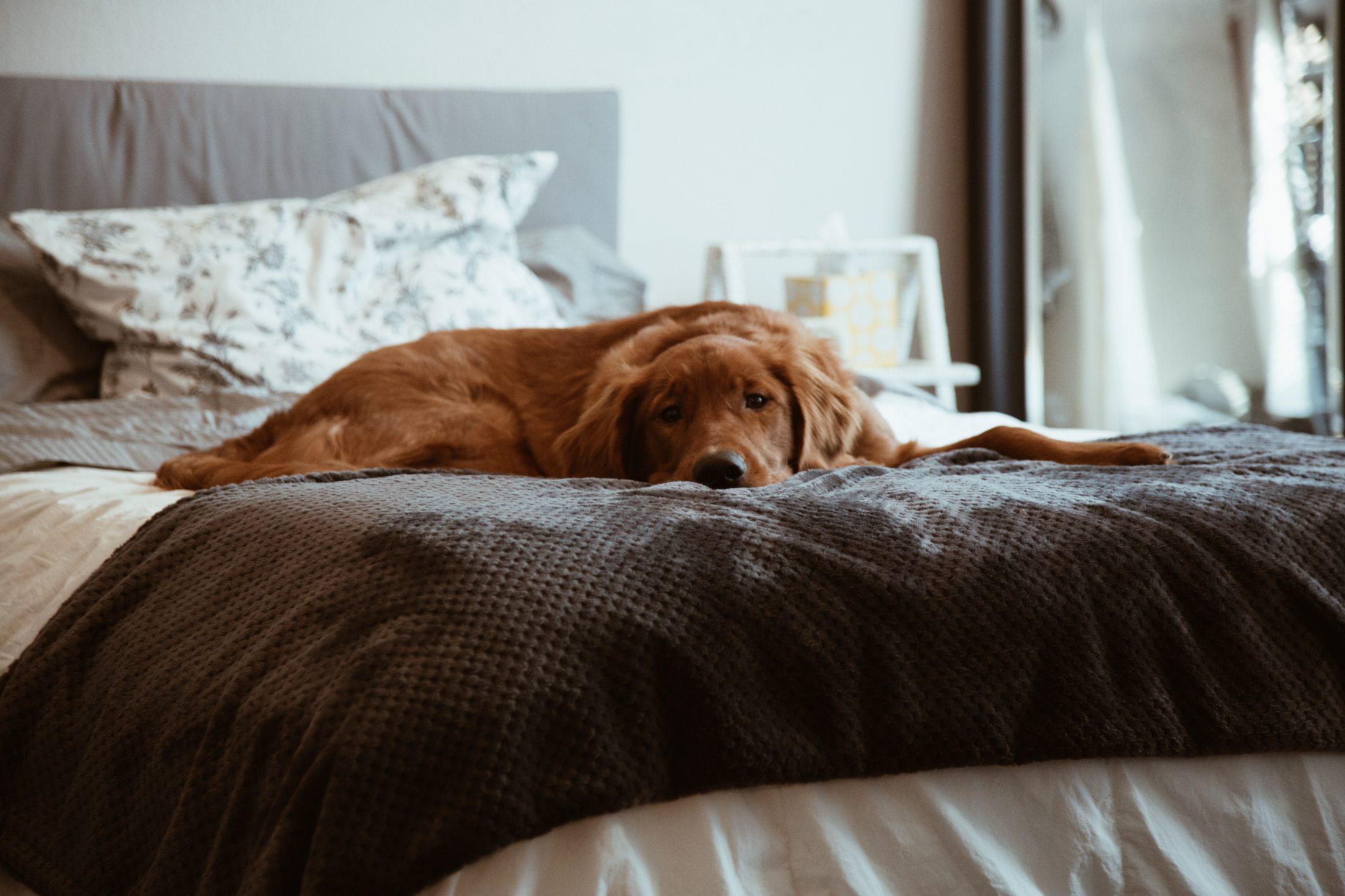 O calmante para cachorro deve ser usado quando não há outras alternativas ou em situações extremas.