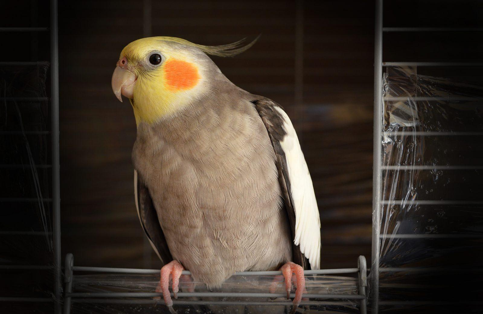 A calopsita é uma ave que possui uma crista emplumada.