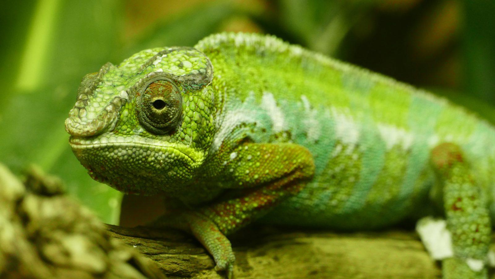 Há várias espécies diferentes de camaleão.