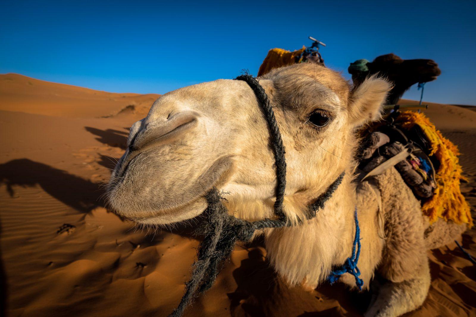 Saiba tudo sobre o camelo e suas características