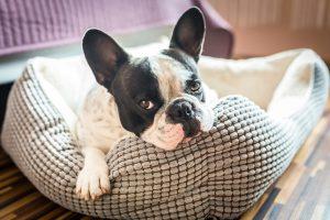 Buldogue francês deitado na sua caminha de cachorro.