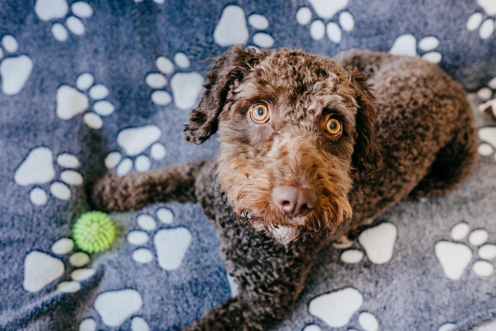 Caminha cachorro: Cachorro deitado na sua caminha de com o seu brinquedo favorito.
