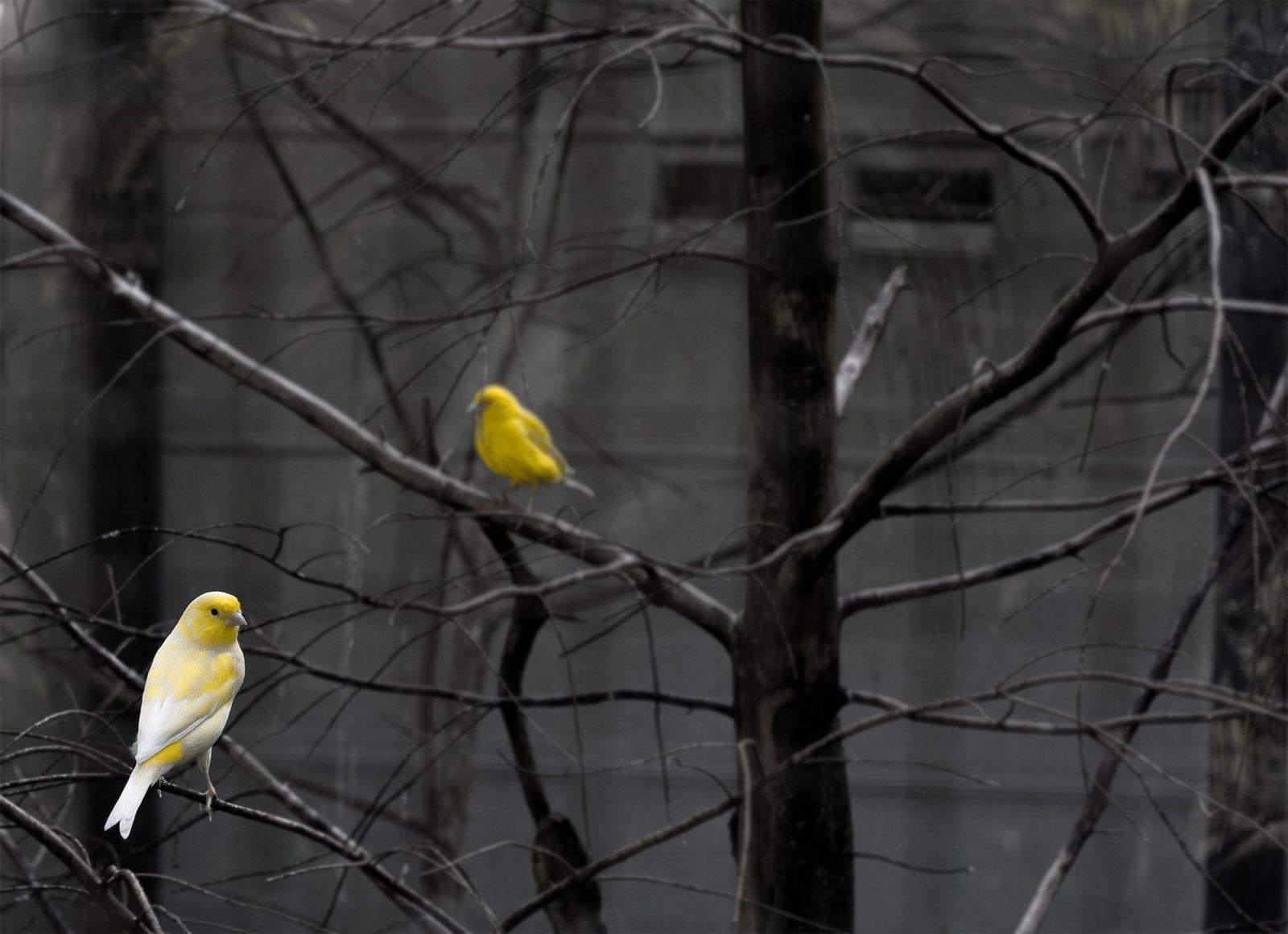 canários nos galhos de árvores
