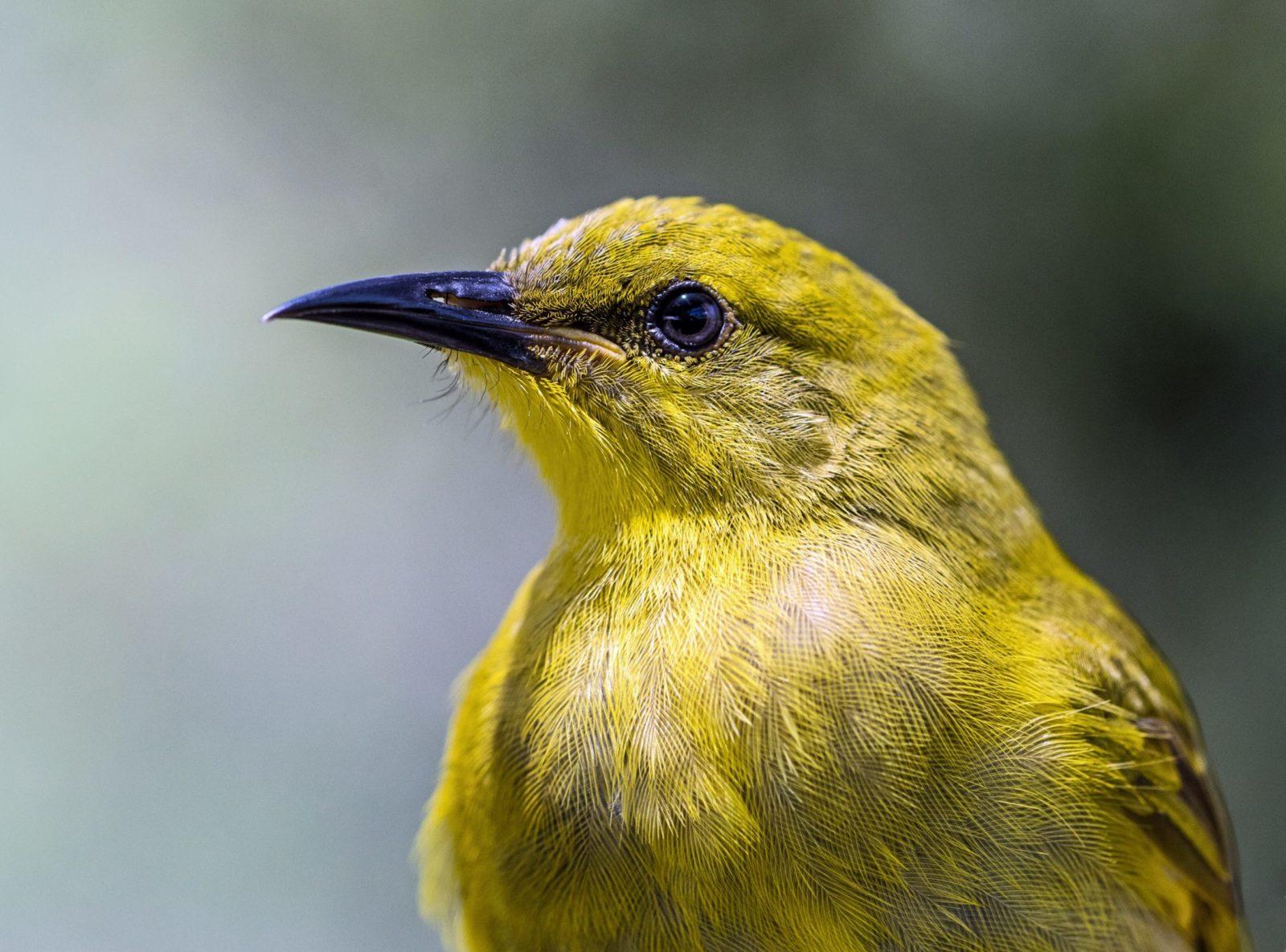 Existem diversas espécies de canário.