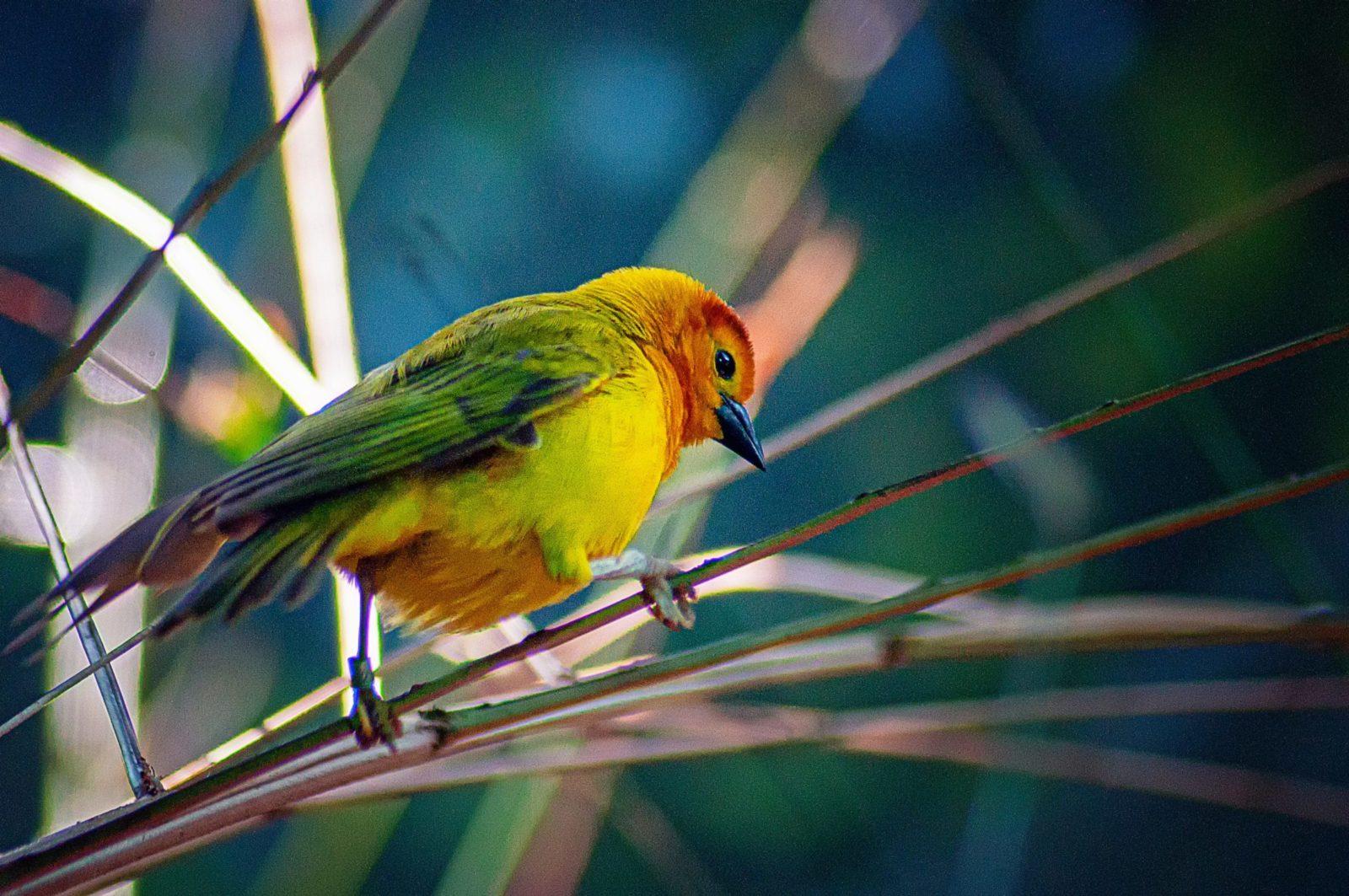O canário tem comportamento dócil e aspecto frágil