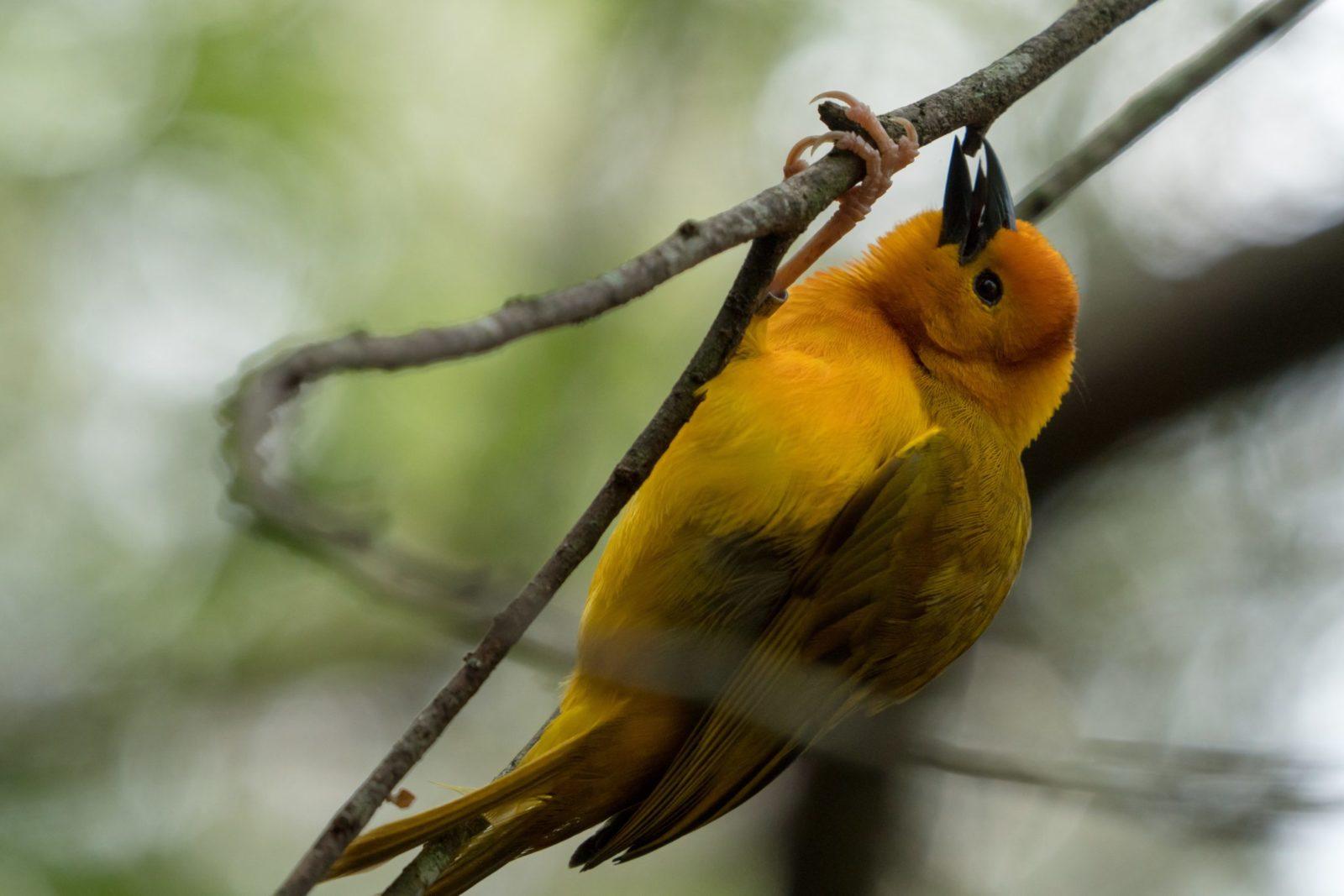 O canário é um passarinho pequeno depeito amarelo.