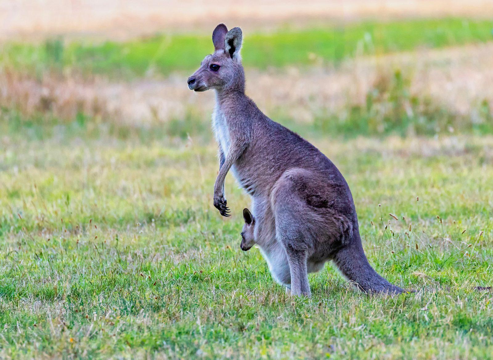O canguru dá à luz afilhotes imaturos que completam seu desenvolvimento dentro da bolsa materna.