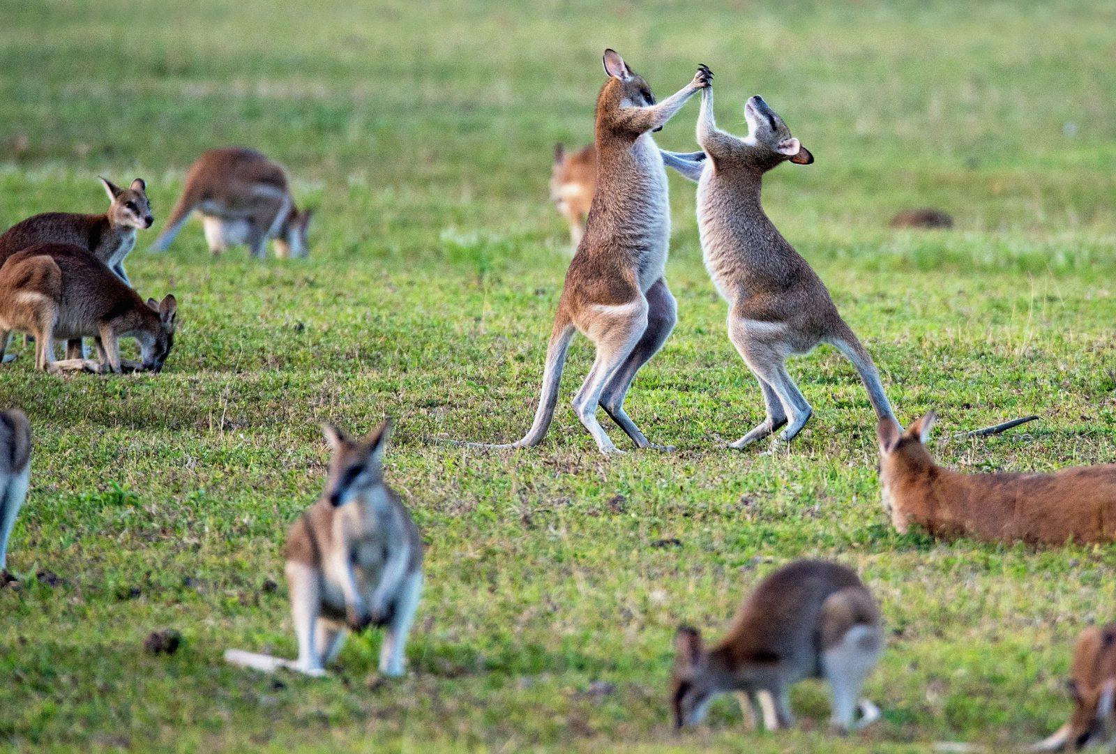 O canguru vive em bando e tem hábitos noturnos e crepusculares.