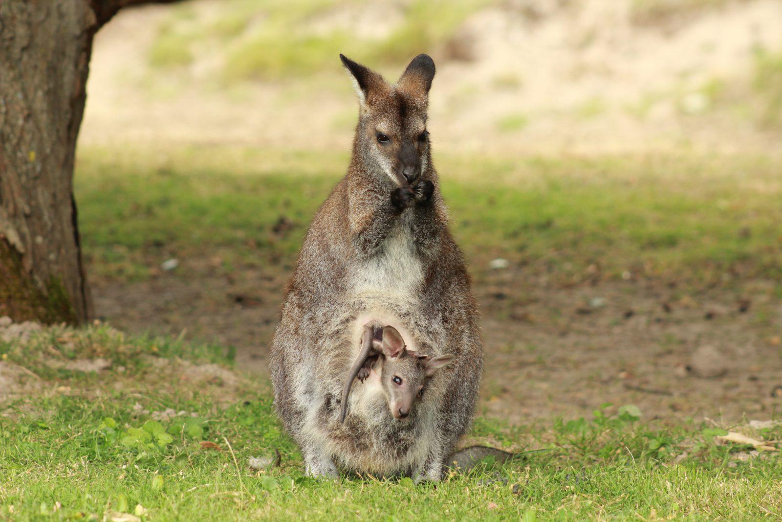 O canguru possui poucos predadores naturais.