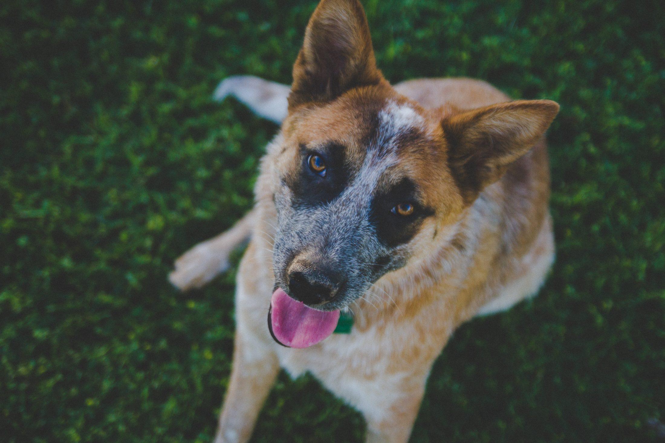 cão abandonado ema brigo resgatado por família