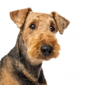cao-airedale-terrier