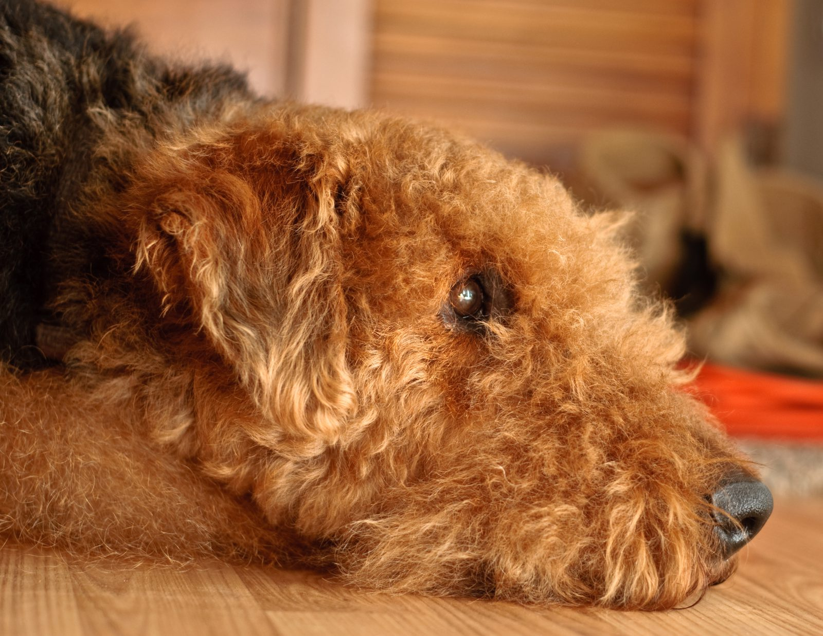 cao-airedale-terrier-ambiente