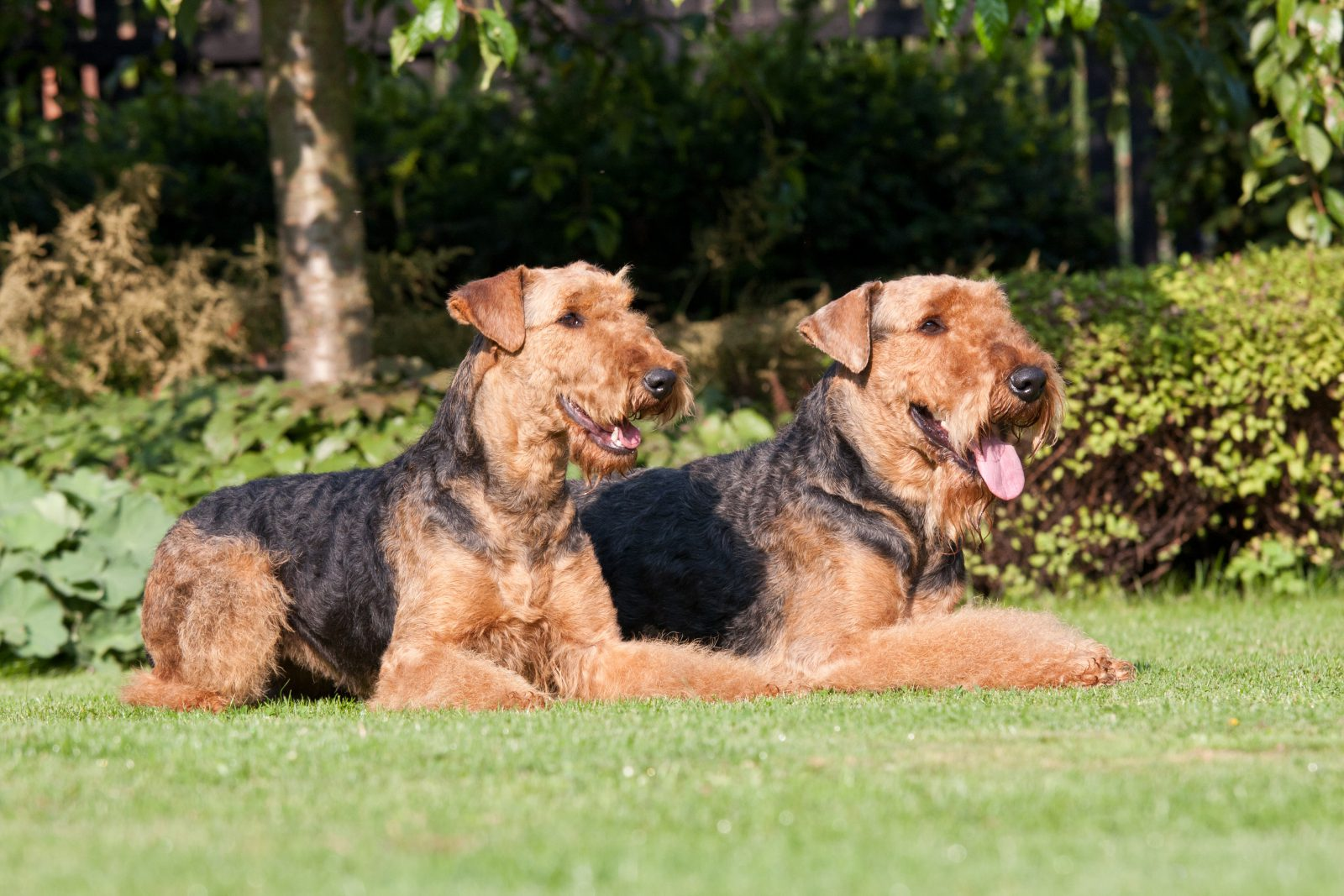airedale terrier club of america - HD1600×1067