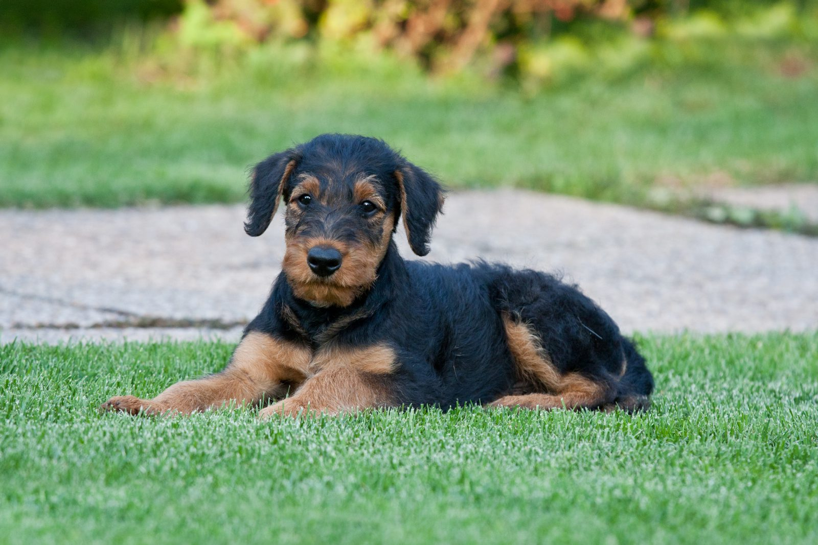 cao-airedale-terrier-saude