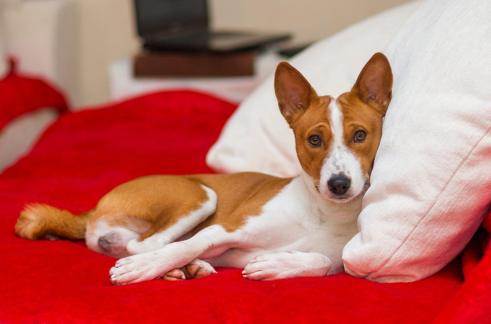 Caminha de cachorro: Basenji deitado confortavelmente na cama do seu dono.