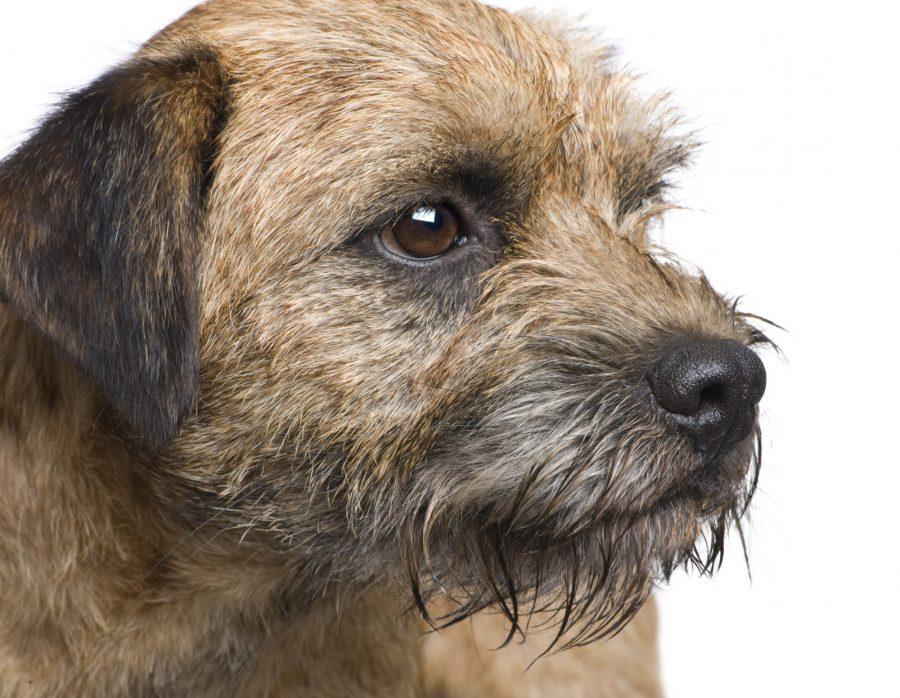 cao-border-terrier