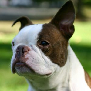 cao boston terrier