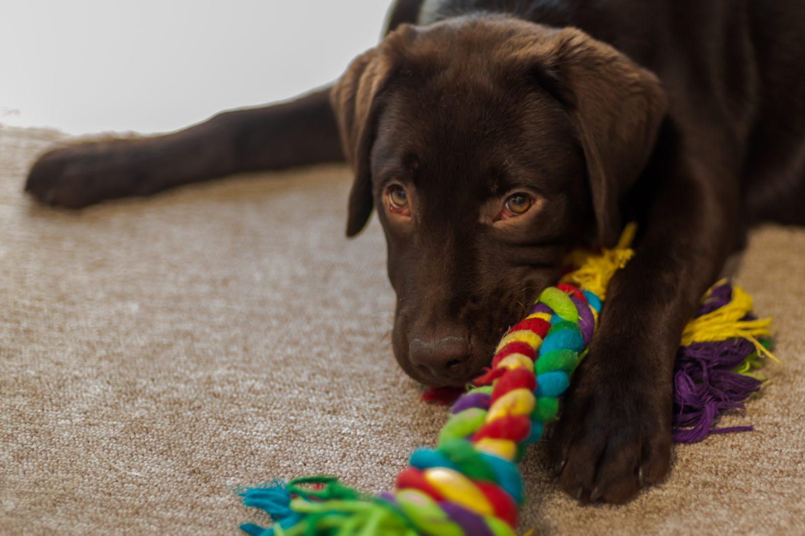 dica-manter-cachorro-jovem-brinquedos-moles