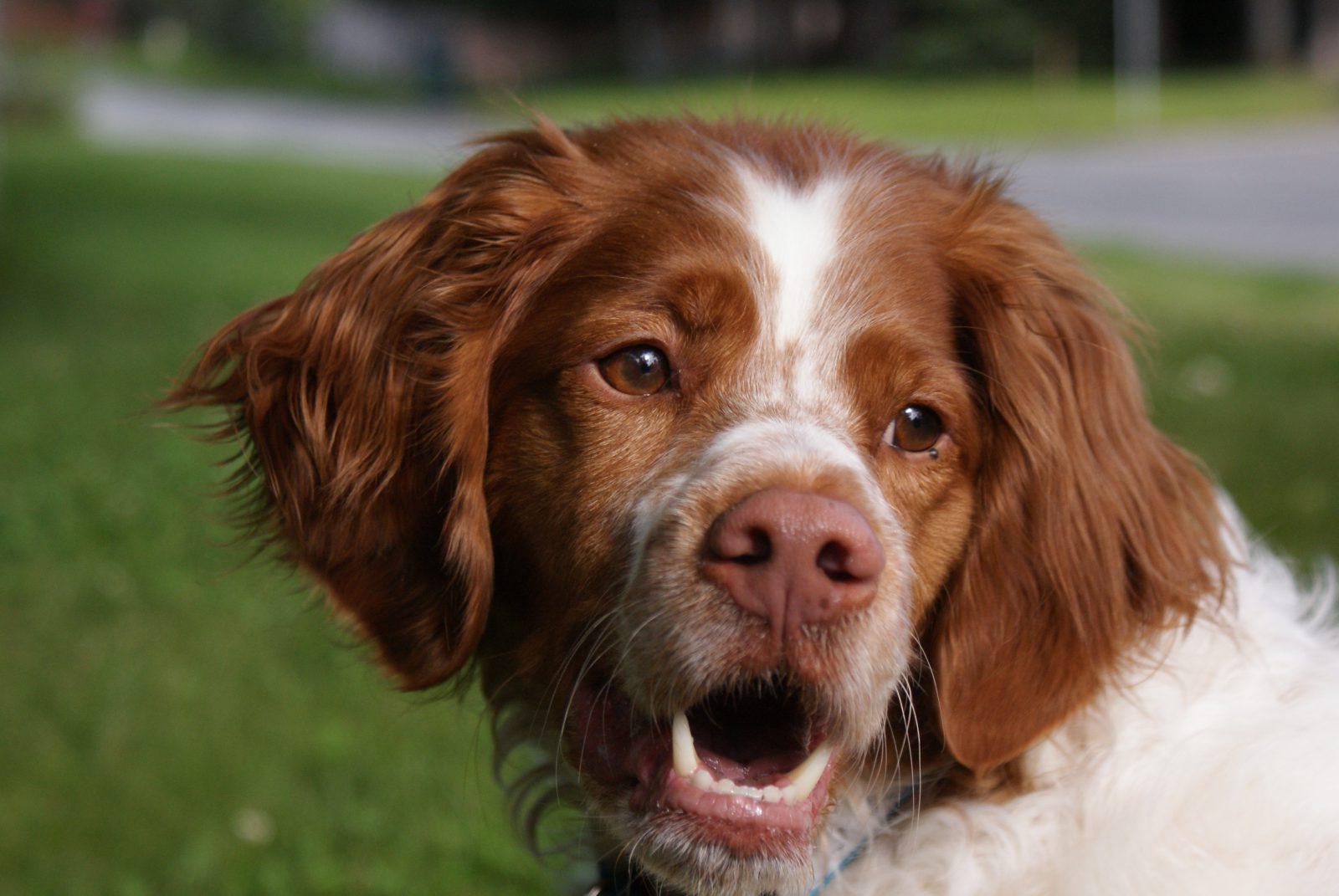 Cachorros de raça: Brittany Spaniel castanho e branco feliz pelo jardim.