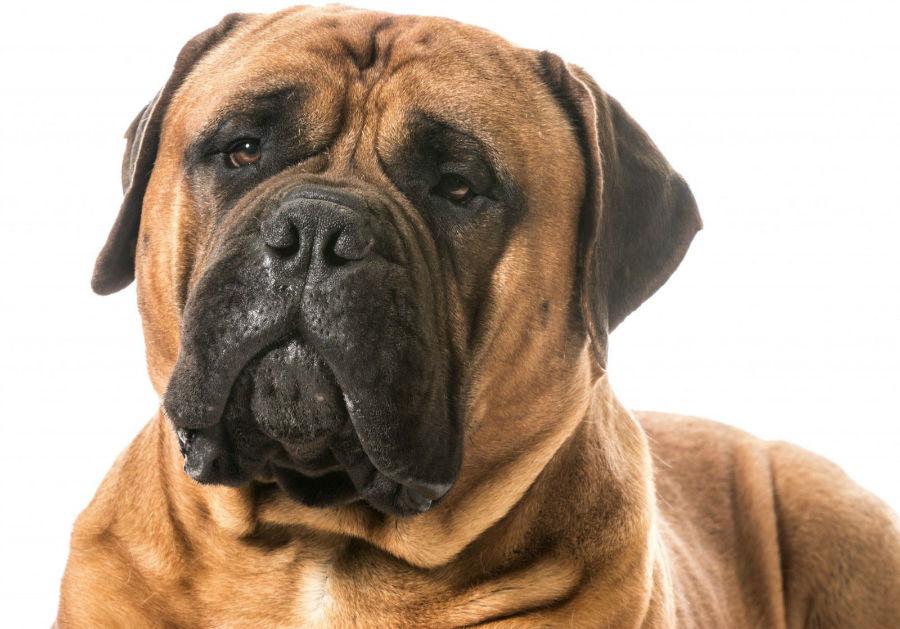 cachorro bulmastife