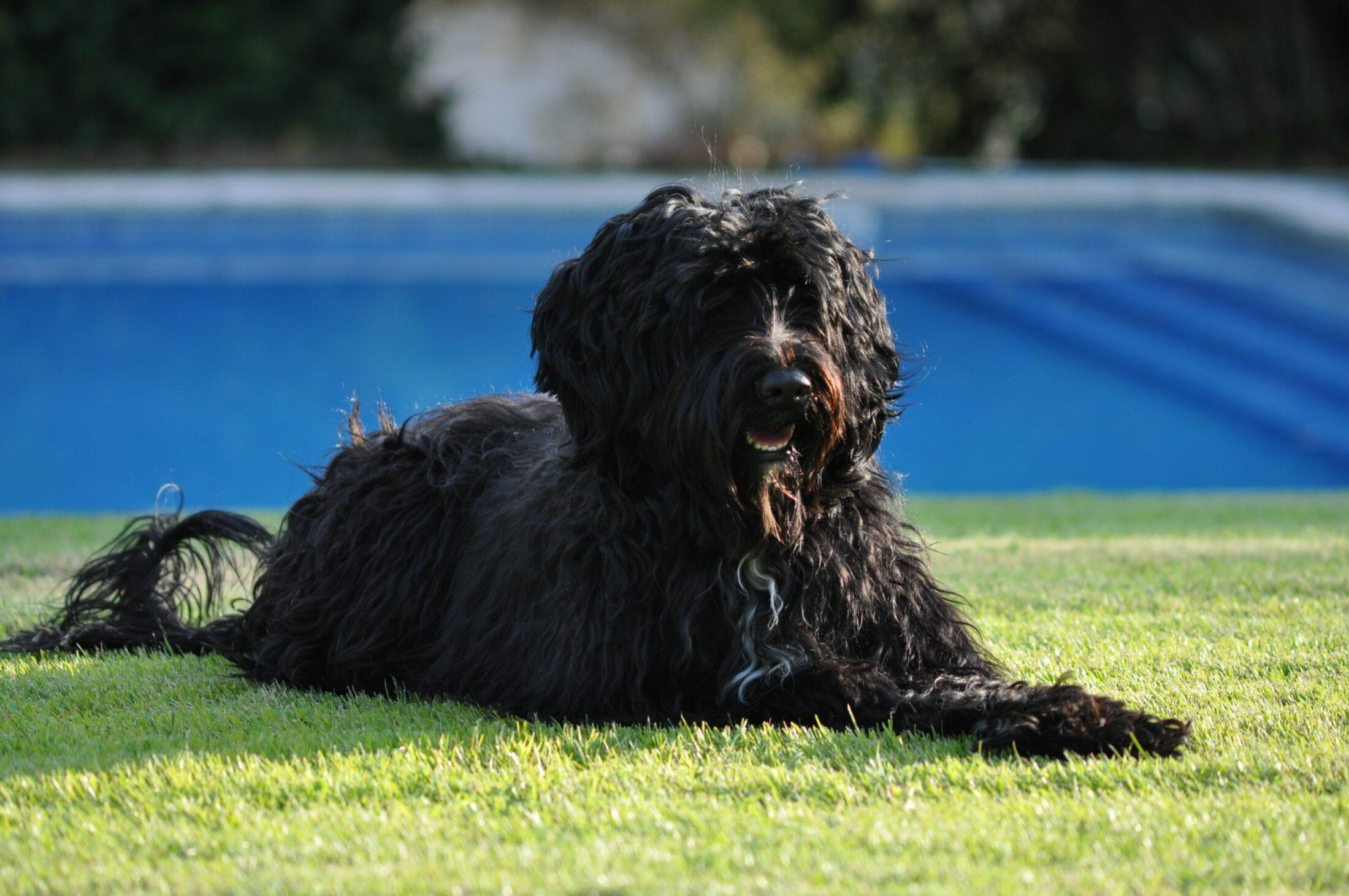 cachorro porte médio: cao d'água portugues