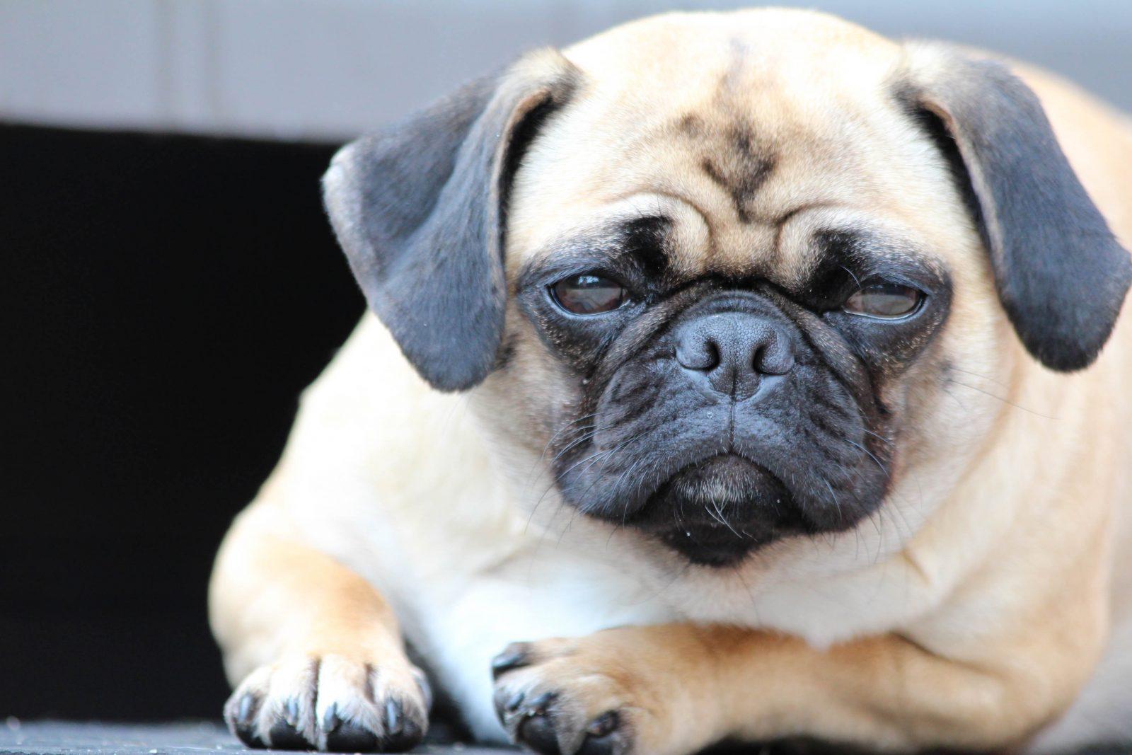 Cuidar de cachorro: Pug obeso deitado no chão de sua casa.