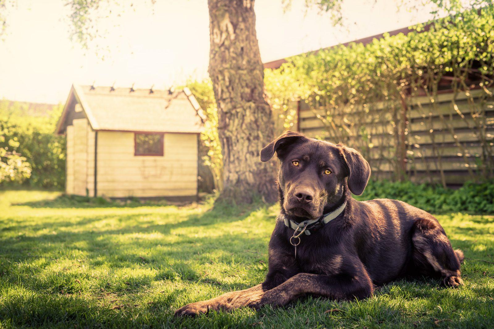 Cuidar de cachorro: Rottweiler confinado sozinho no quintal sem supervisão.