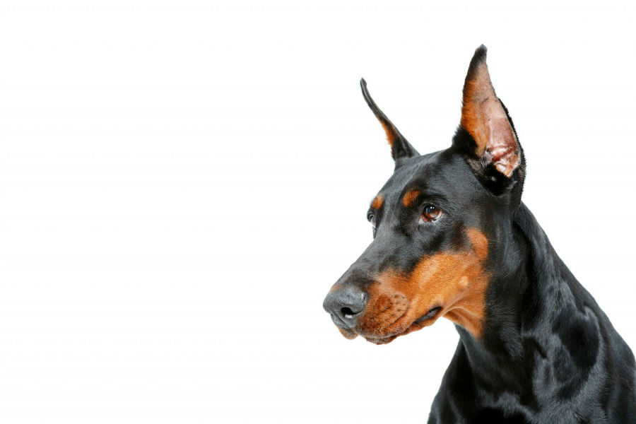 cachorro doberman pinscher
