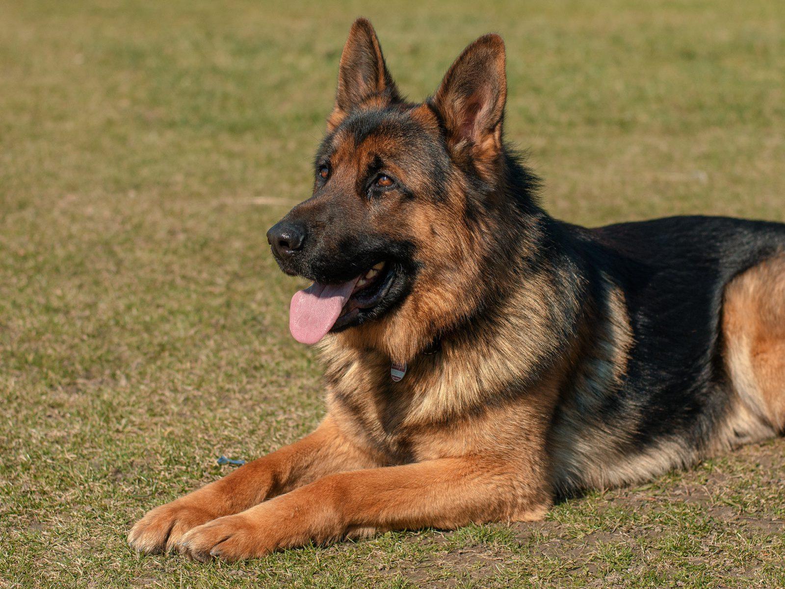 Cão guia: O Pastor alemão, além de excelente cão policial também é muito usado como cão guia e terapia.